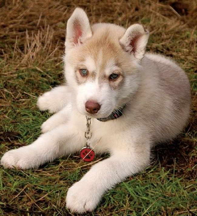Light Brown Husky Puppy