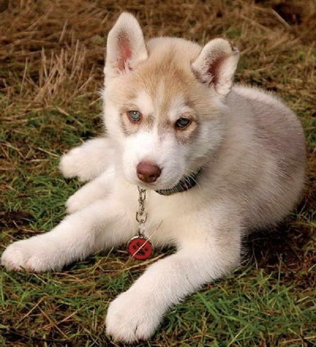 Light Brown Husky Puppy