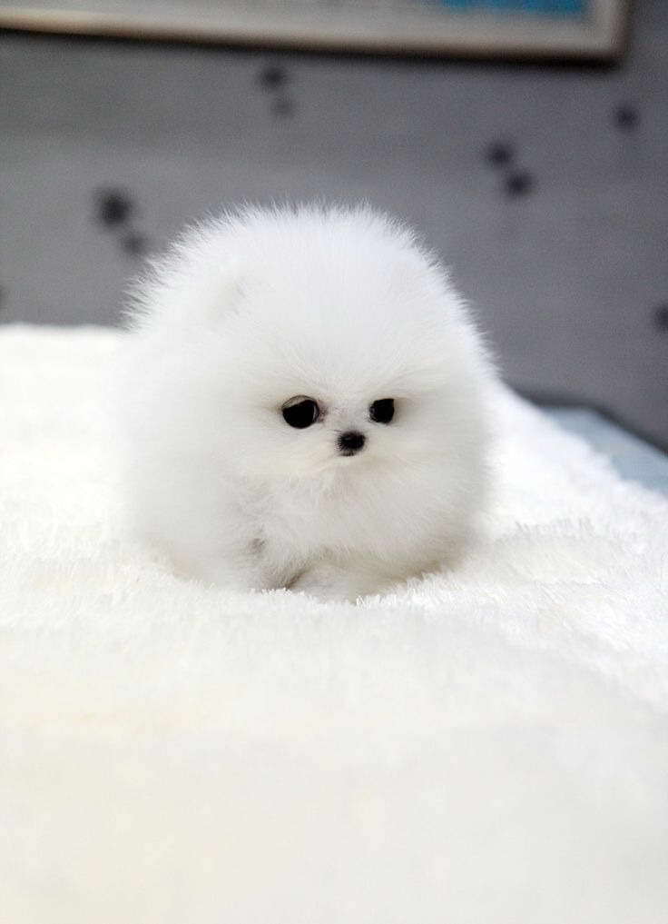 How Much Do Teacup Pomeranian Puppies