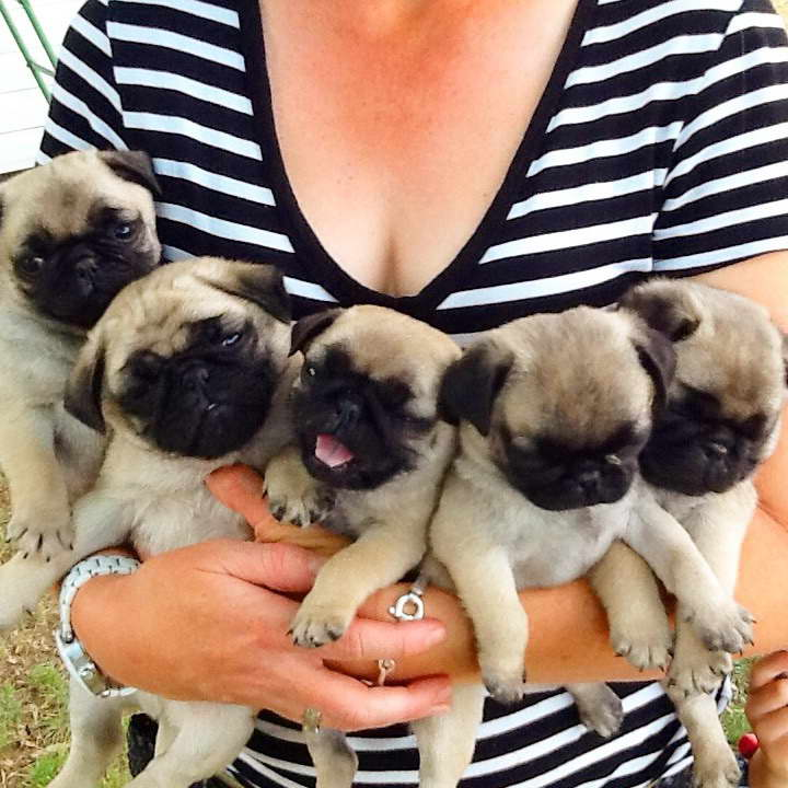 How Much Should I Feed My Pug Puppy