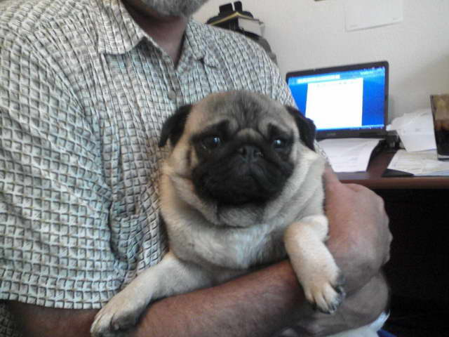 How To Adopt A Pug