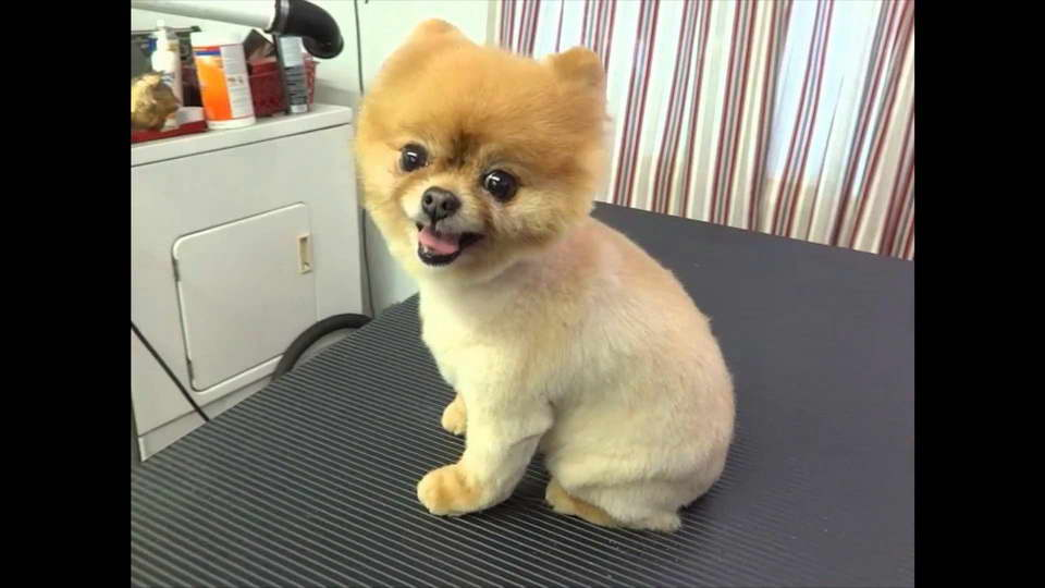 How To Shave A Pomeranian