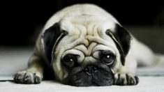 How To Take Care Of A Pug Puppy