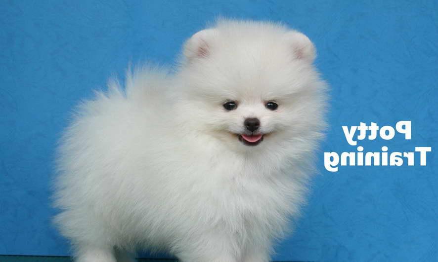 How To Train A Pomeranian
