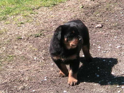 Huge Rottweiler Puppies For Sale