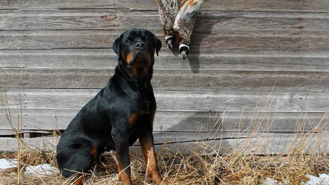 Hunting Rottweiler