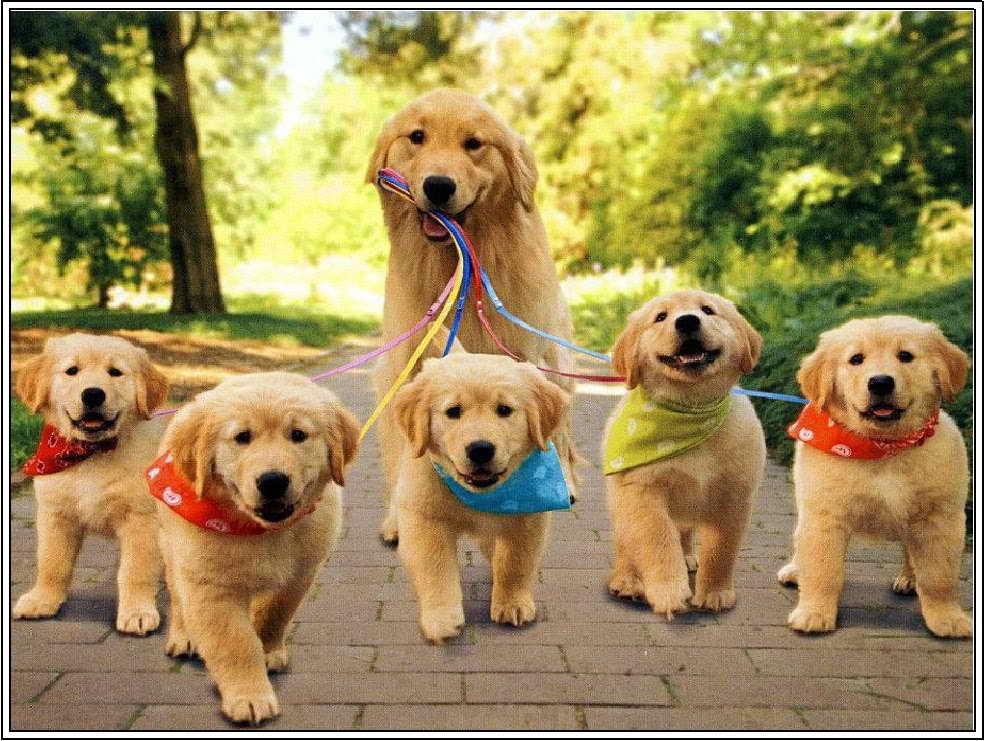 I Want A Golden Retriever Puppy