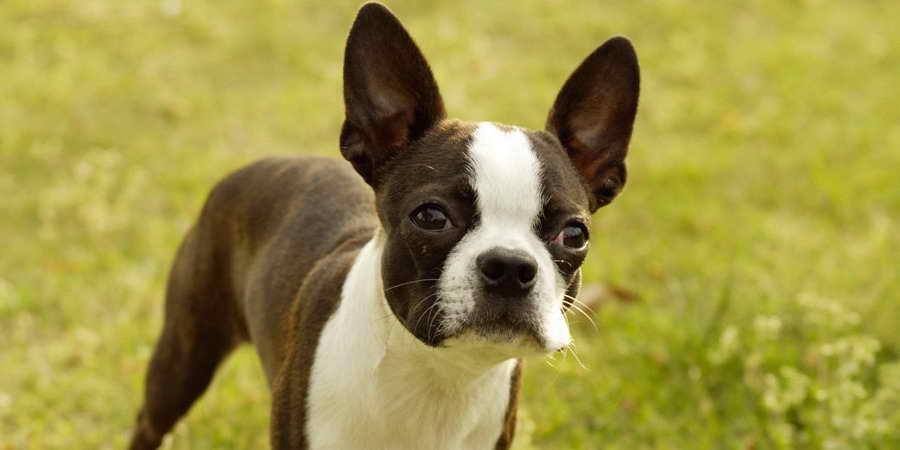 Information On Boston Terrier