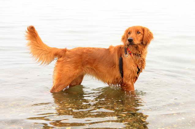 Irish Setter Golden Retriever Mix Puppies