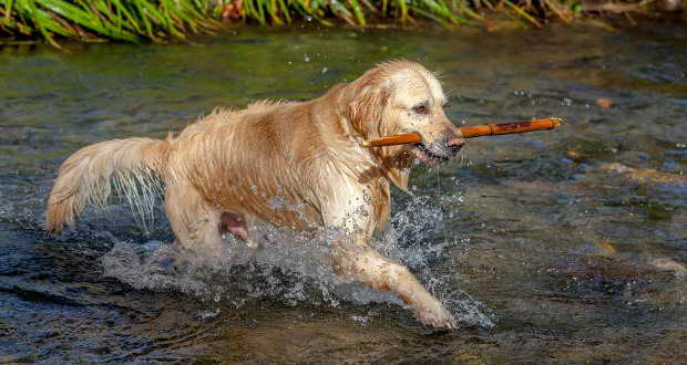 Is A Golden Retriever Right For Me
