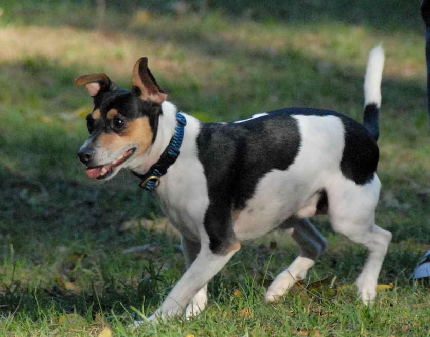 Jack Rat Terrier Puppies