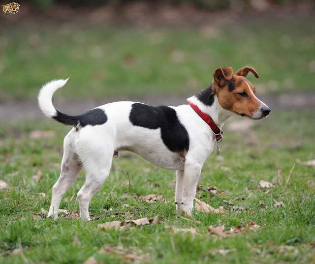 Jack Russel Terrier For Sale