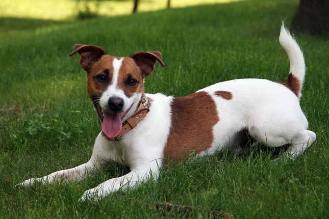 Jack Russel Terrier Pups For Sale