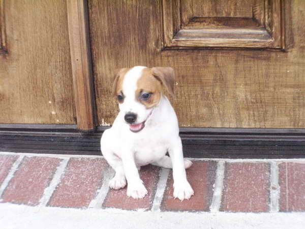 Jack Russell Puppies For Sale Craigslist   PETSIDI