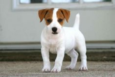 Jack Russell Puppies In Michigan