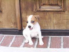 Jack Russell Puppies Jacksonville Fl