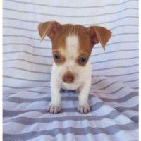 Jack Russell Puppies Las Vegas