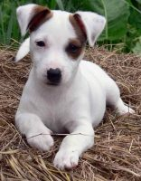 Jack Russell Puppies Nj