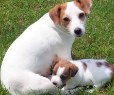 Jack Russell Puppies Ohio
