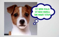 Jack Russell Puppies Training Tips