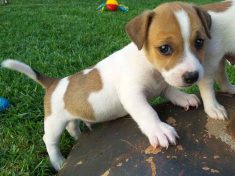 Jack Russell Puppy Breeders