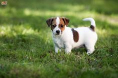 Jack Russell Puppy Picture
