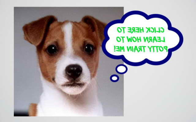 Jack Russell Puppy Training