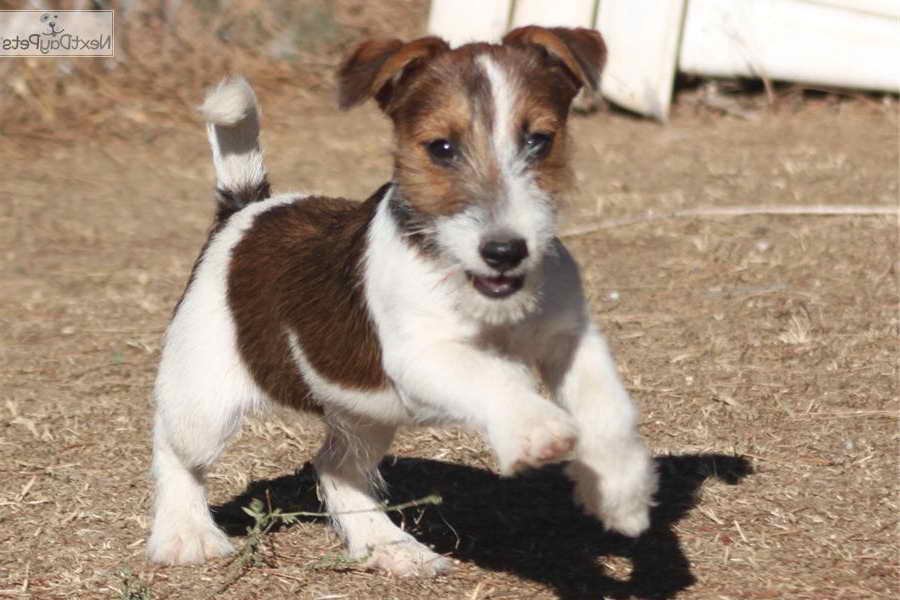 Jack Russell Terrier California