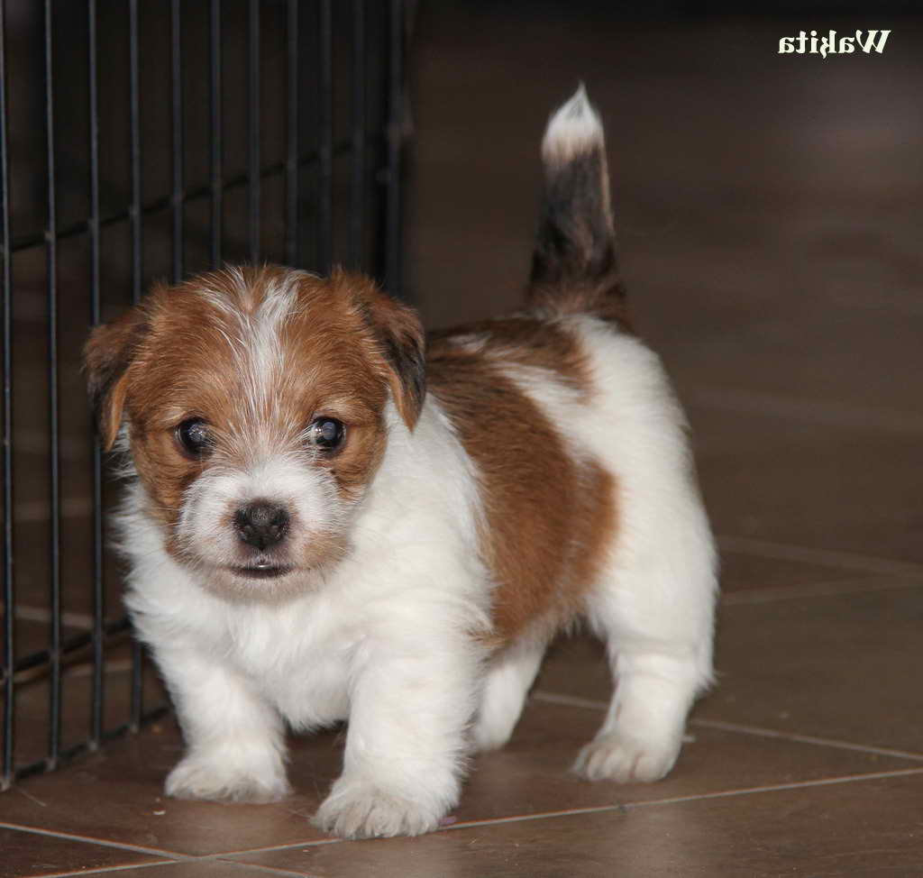 Jack Russell Terrier Colorado