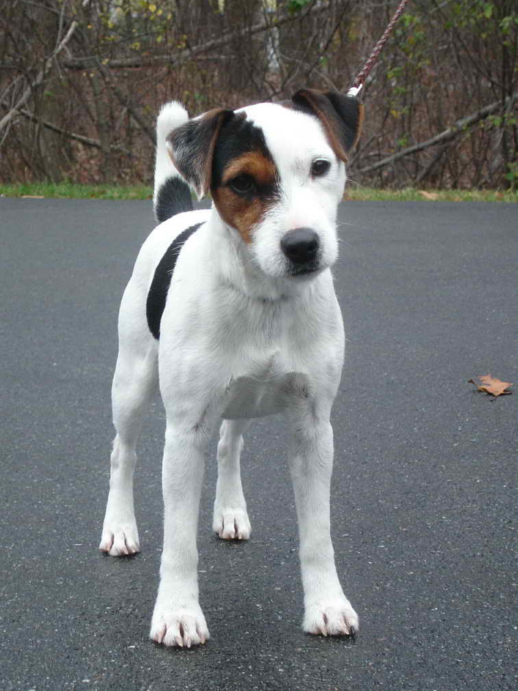 Jack Russell Terrier Rescue Maine