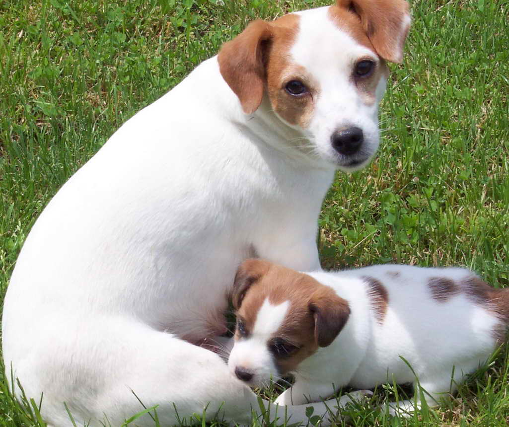 Jack Russell Terrier Rescue Ohio