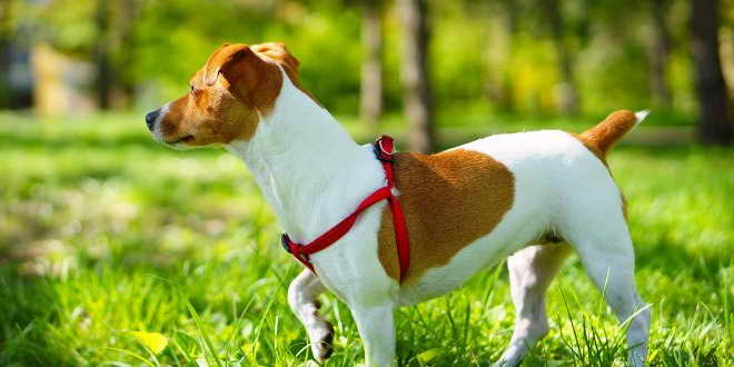 Jack Russell Terrier Training Techniques