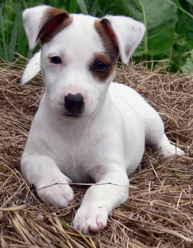 Jack Russell Terriers For Adoption