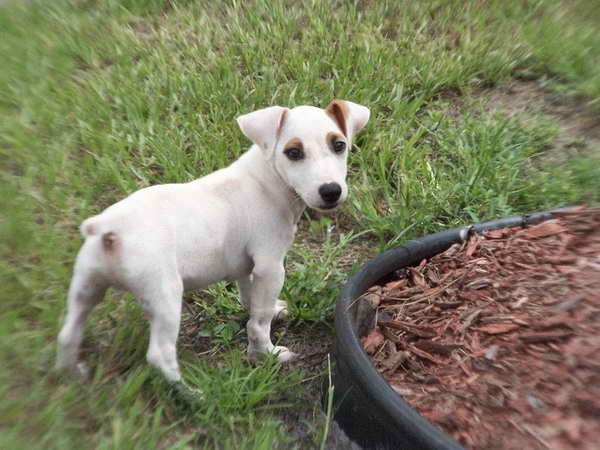 Jack Russell Terriers For Sale In California