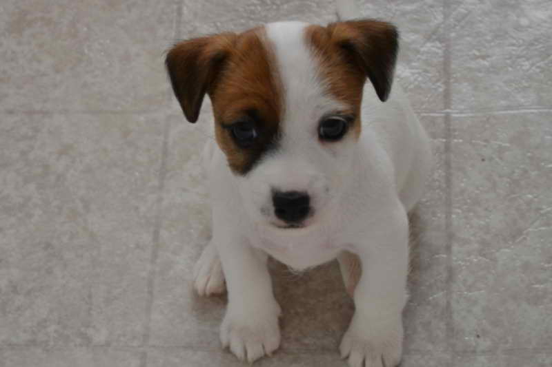 Jack Russell Terriers For Sale In Michigan
