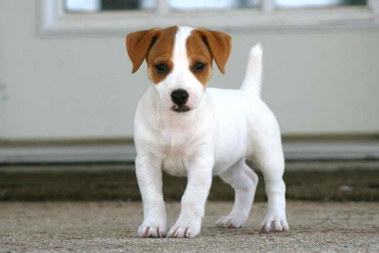 Jack Russell Terriers For Sale In Ohio