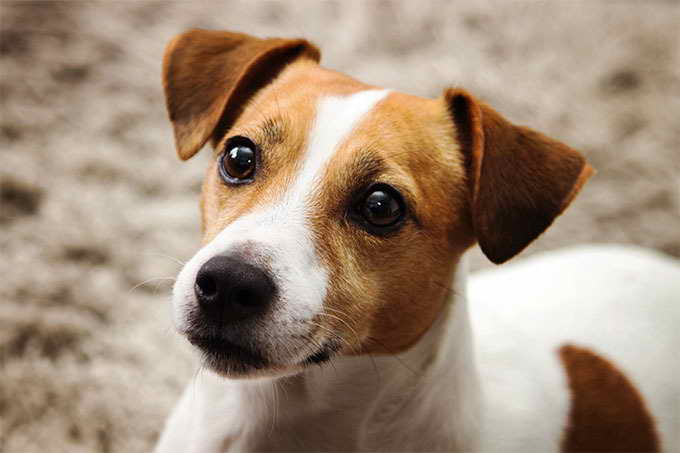 Jack Russell Terrior Dogs