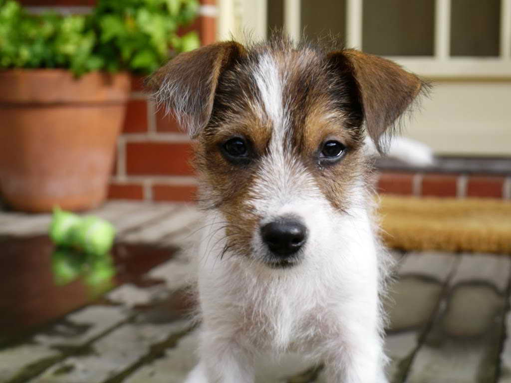 Jack Russell Wire Haired Terrier For Sale
