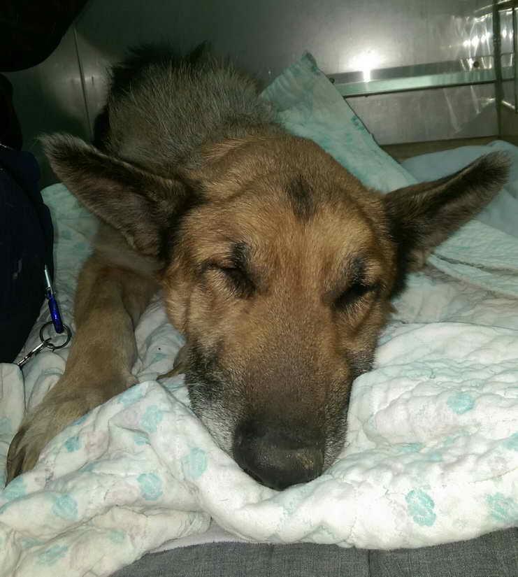 Kansas German Shepherd Rescue