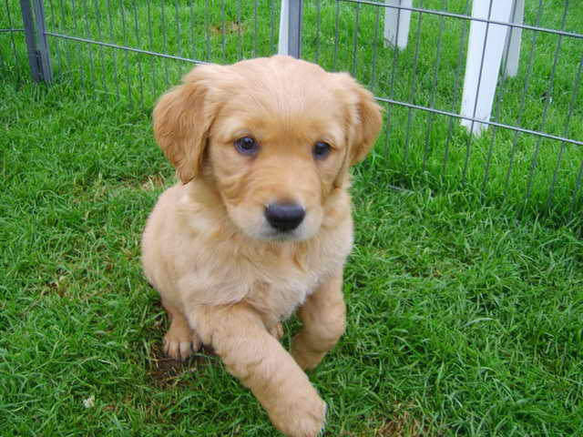 Kansas Golden Retriever Breeders