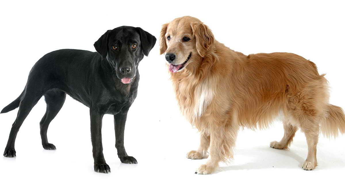 Lab And Golden Retriever