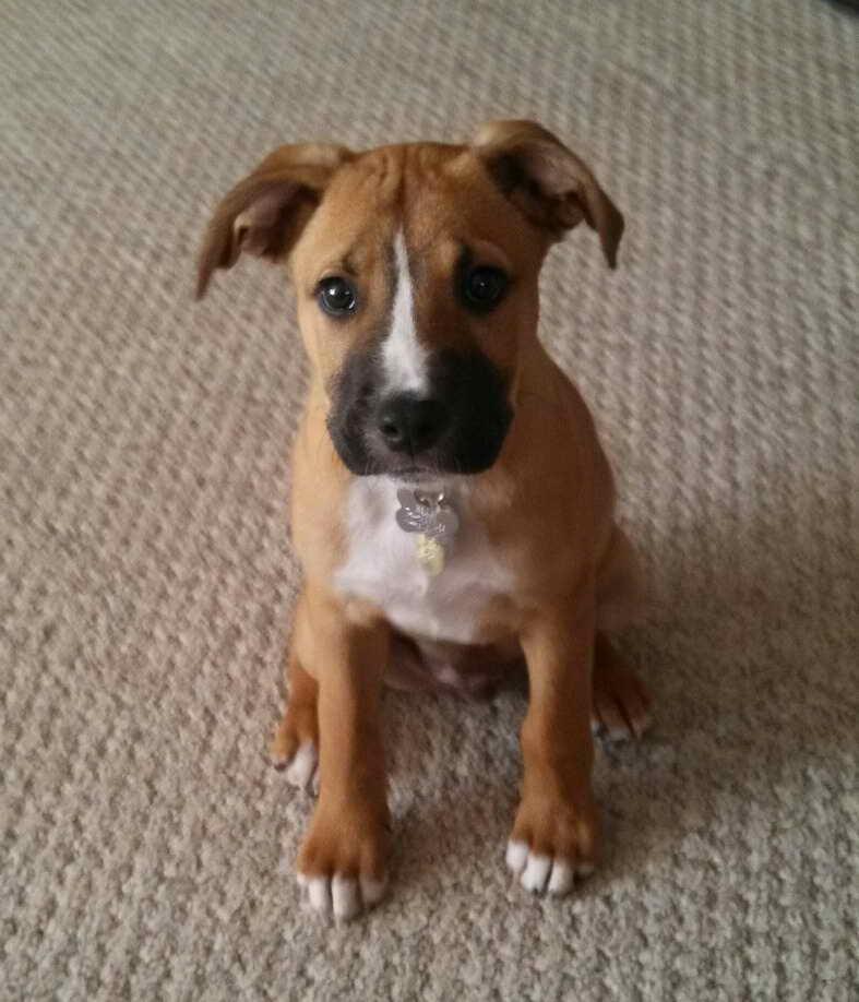 Labrador Boxer Mix Puppies For Sale