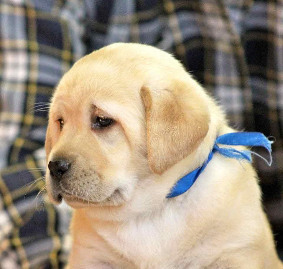 Labrador Breeder Ny