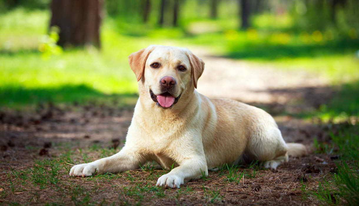 Labrador Breeder