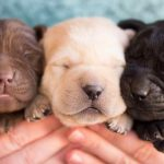 Labrador Breeders Arizona