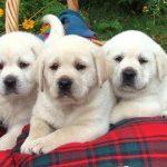Labrador Breeders Austin Texas