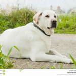 Labrador Dog For Free