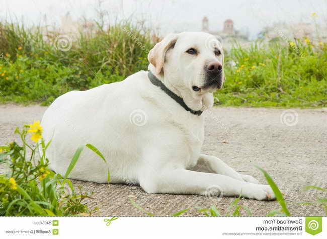 Labrador Dog For Free