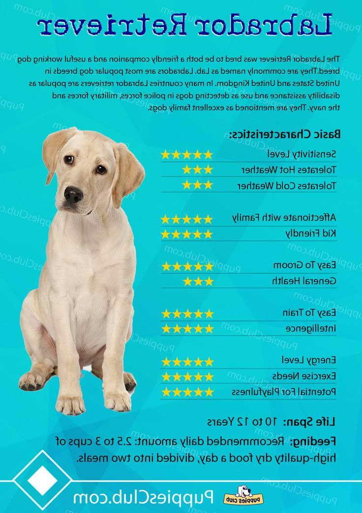 Labrador Dogs Characteristics