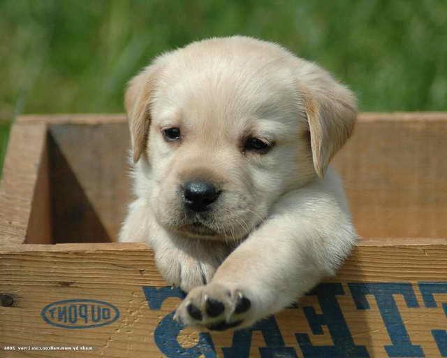 Labrador Dogs Facts